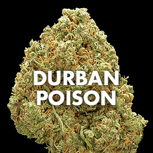 Durban Poison: Cannabis Strain Review – Bellingham Cannabis