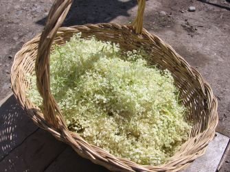 Picked_Elderflower.jpg