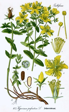 StJohnsWort_botanical-illustration